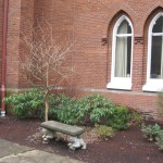 Jonah's Stewartia Tree at Salem United Methodist Church, 2010